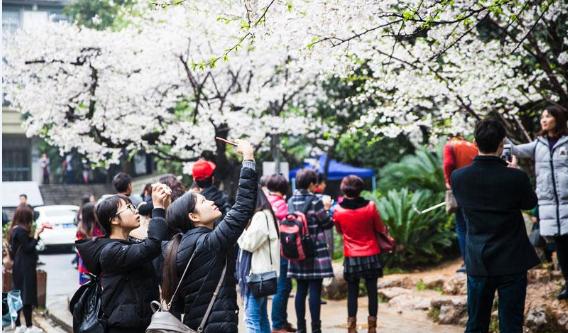 又是武大樱花烂漫时 游客雨中文明赏花